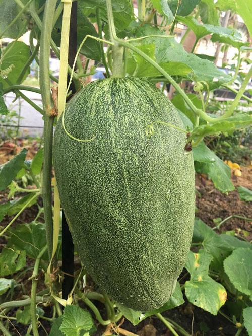 Phát thèm với vườn cây trái sai lúc lỉu của bà mẹ Việt kiều - 3