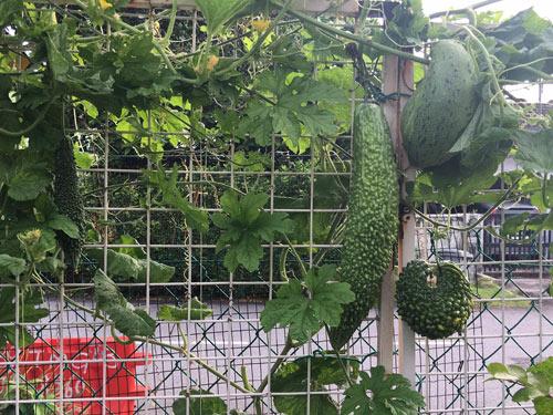 Phát thèm với vườn cây trái sai lúc lỉu của bà mẹ Việt kiều - 6