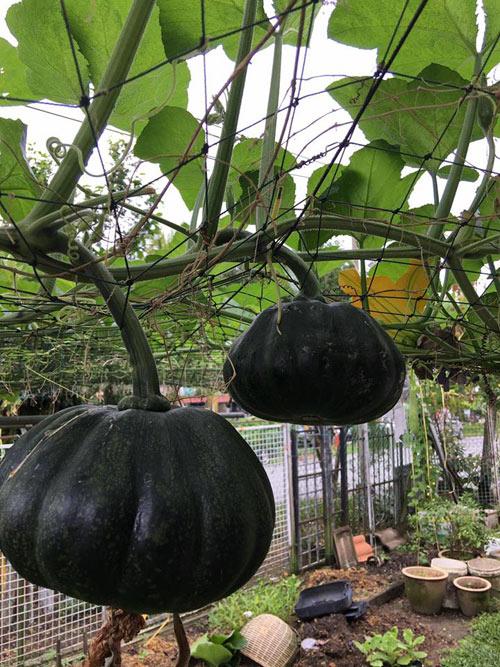 Phát thèm với vườn cây trái sai lúc lỉu của bà mẹ Việt kiều - 5
