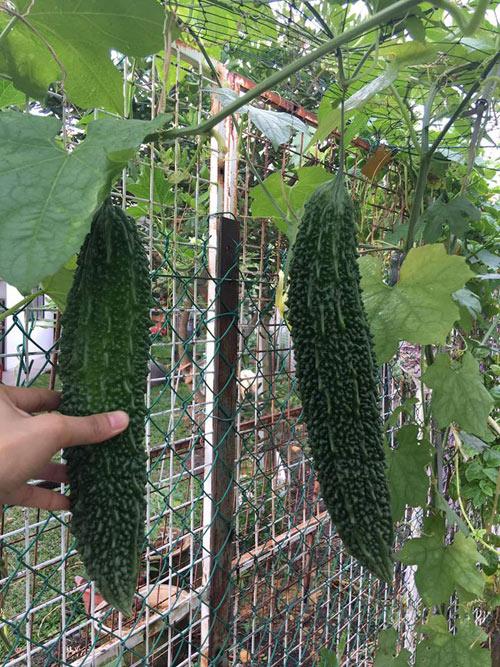 Phát thèm với vườn cây trái sai lúc lỉu của bà mẹ Việt kiều - 11