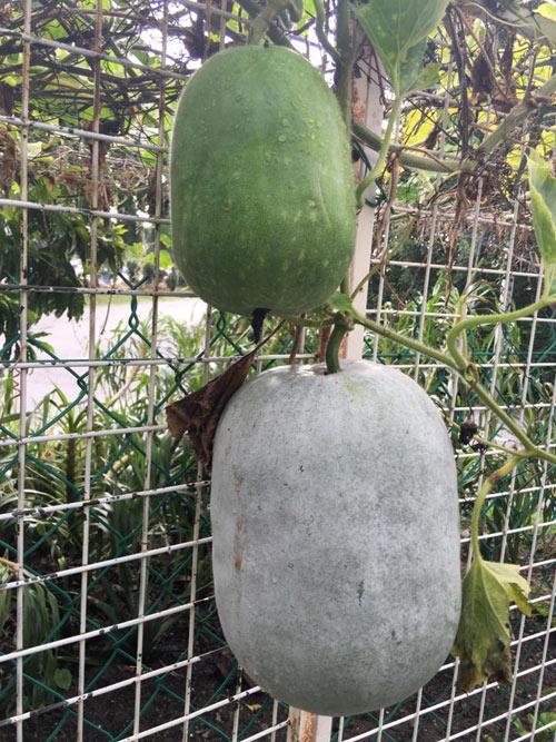 Phát thèm với vườn cây trái sai lúc lỉu của bà mẹ Việt kiều - 10