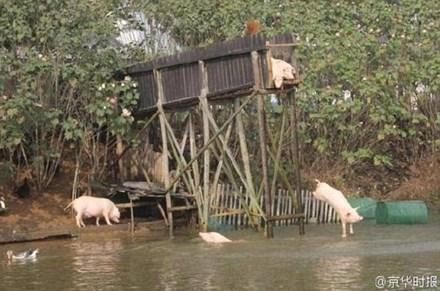 Lão nông cho lợn nhảy cầu tập bơi để... tăng độ ngon của thịt - 1