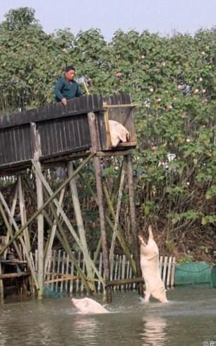 Lão nông cho lợn nhảy cầu tập bơi để... tăng độ ngon của thịt - 2