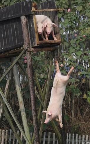 Lão nông cho lợn nhảy cầu tập bơi để... tăng độ ngon của thịt - 3