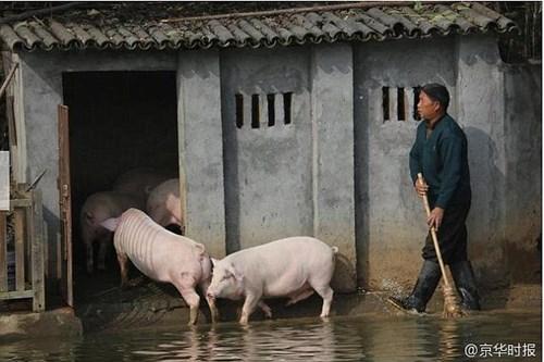 Lão nông cho lợn nhảy cầu tập bơi để... tăng độ ngon của thịt - 4