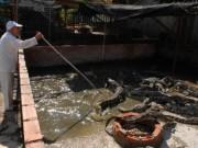 Thị trường - Tiêu dùng - Cá sấu Việt lệ thuộc thị trường Trung Quốc