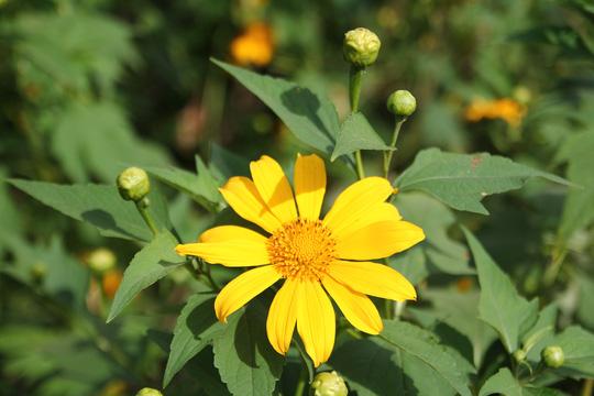 Lâm Đồng vàng óng sắc hoa dã quỳ dưới nắng đầu đông - 2