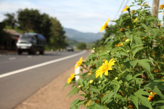 Lâm Đồng vàng óng sắc hoa dã quỳ dưới nắng đầu đông - 5
