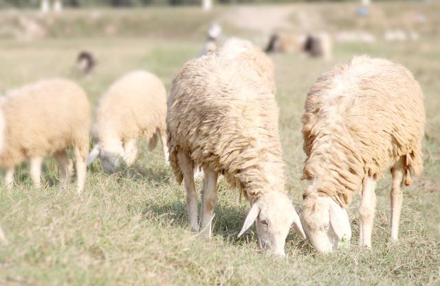 Lạ mắt với đàn cừu trên cánh đồng xứ Nghệ - 1