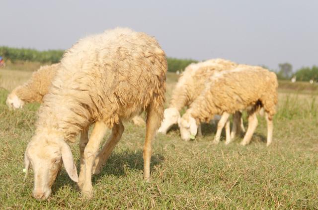 Lạ mắt với đàn cừu trên cánh đồng xứ Nghệ - 2