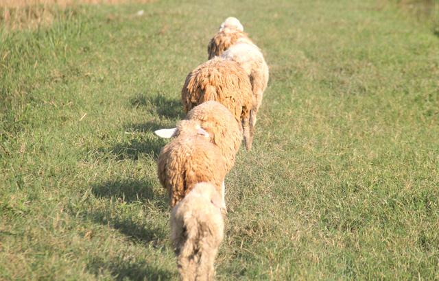 Lạ mắt với đàn cừu trên cánh đồng xứ Nghệ - 3