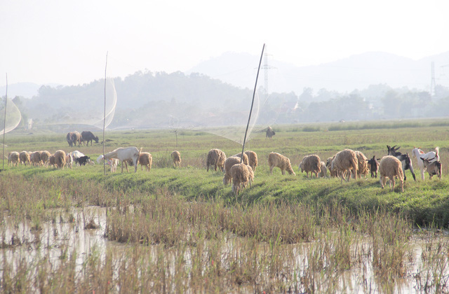 Lạ mắt với đàn cừu trên cánh đồng xứ Nghệ__ - 4