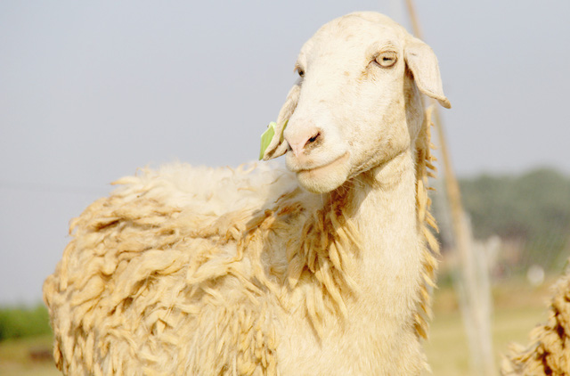Lạ mắt với đàn cừu trên cánh đồng xứ Nghệ__ - 5