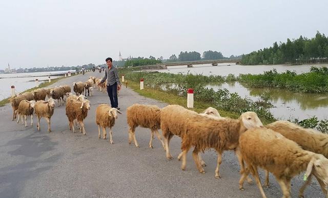 Lạ mắt với đàn cừu trên cánh đồng xứ Nghệ__ - 7