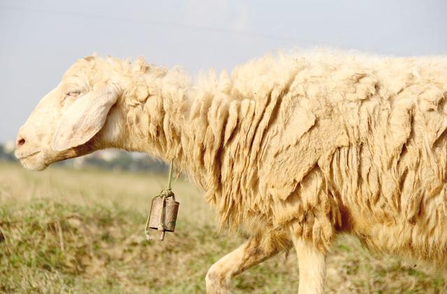 Lạ mắt với đàn cừu trên cánh đồng xứ Nghệ__ - 8
