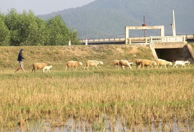 Lạ mắt với đàn cừu trên cánh đồng xứ Nghệ__ - 9