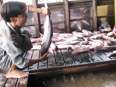 Xuất khẩu cá tra phải thu mua theo danh sách của Mỹ - 1