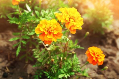 Chữa 20 bệnh hiệu quả rõ rệt chỉ bằng cúc vạn thọ trong vườn nhà - 2