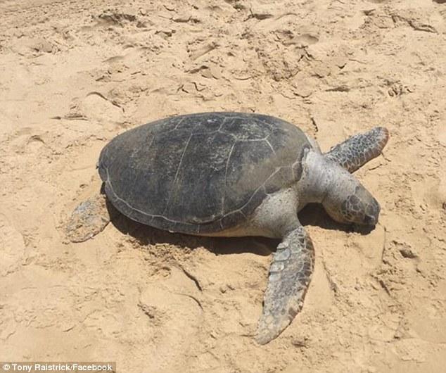 """Úc: Du khách """"lướt ván"""" trên lưng rùa quý gây phẫn nộ - 2"""