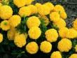 Chữa 20 bệnh hiệu quả rõ rệt chỉ bằng cúc vạn thọ trong vườn nhà