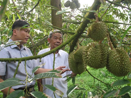 Nông dân vùng ngập lũ lãi lớn nhờ trồng sầu riêng - 1