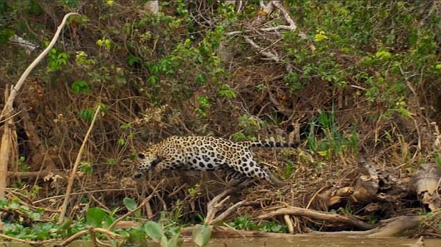 Video: Báo đốm ra đòn hiểm, hạ gục cá sấu khổng lồ - 1