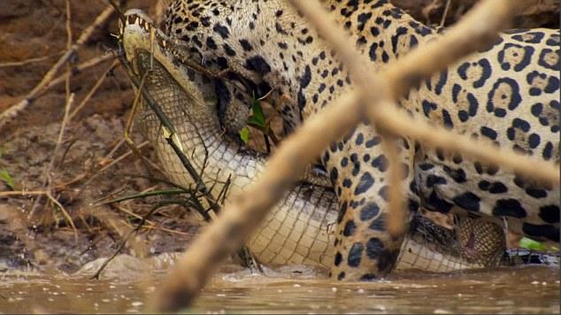 Video: Báo đốm ra đòn hiểm, hạ gục cá sấu khổng lồ - 3