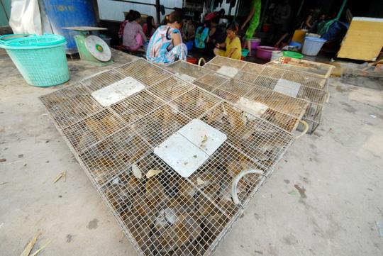 Về miền Tây xem chó săn chuột đồng mùa nước nổi - 6