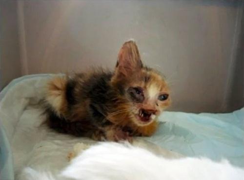 Chú mèo xấu xí lột xác nhờ phẫu thuật thẩm mỹ - 2