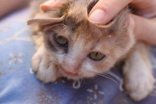Chú mèo xấu xí lột xác nhờ phẫu thuật thẩm mỹ - 5