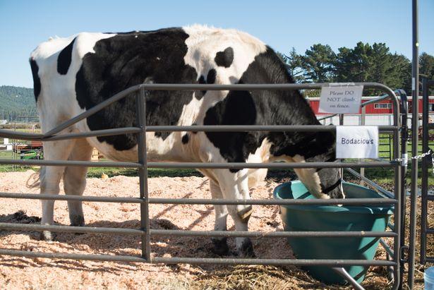 Gặp chú bò khổng lồ 1,9m, cao nhất thế giới - 3