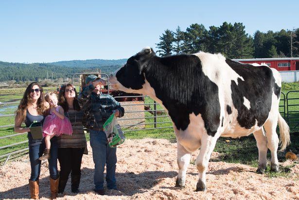 Gặp chú bò khổng lồ 1,9m, cao nhất thế giới - 2