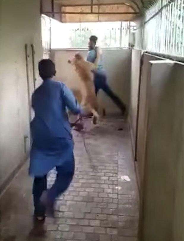 Video: Lớn mật vuốt ve sư tử và cái kết hoảng loạn - 1