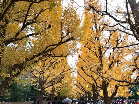 Đẹp mê say mùa lá vàng ở Nhật Bản - 2