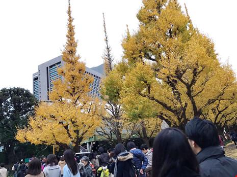 Đẹp mê say mùa lá vàng ở Nhật Bản - 5