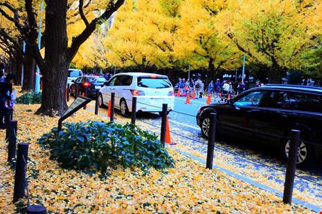 Đẹp mê say mùa lá vàng ở Nhật Bản - 8