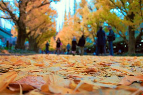 Đẹp mê say mùa lá vàng ở Nhật Bản - 9