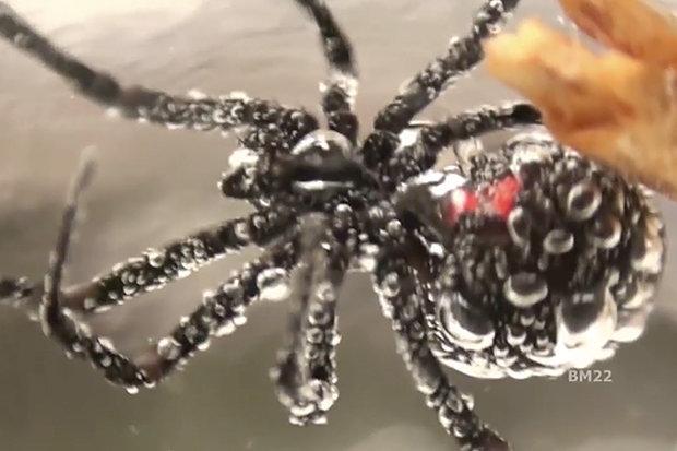 Kinh hãi nhện góa phụ đen bị dìm dưới nước 3 giờ vẫn sống - 1