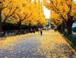 Đẹp mê say mùa lá vàng ở Nhật Bản