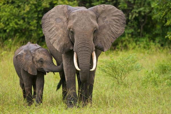 Bị săn bắn quá nhiều, voi tiến hóa để đối phó? - 2