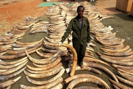 Bị săn bắn quá nhiều, voi tiến hóa để đối phó? - 4
