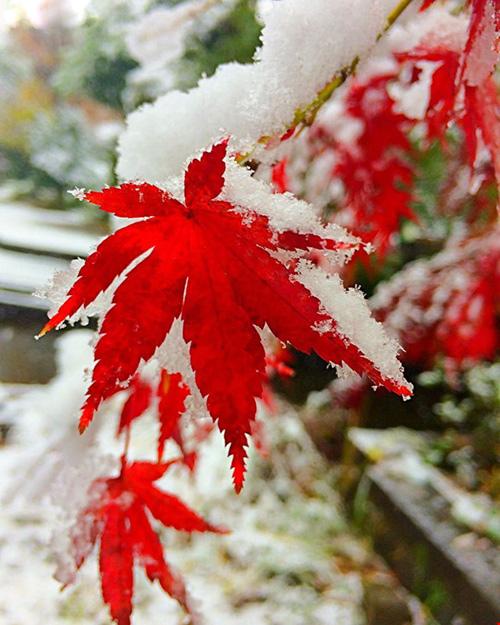 Ngắm tuyết rơi sớm tuyệt đẹp ở Nhật Bản - 11