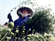 Tin tức trong ngày - Ảnh: Cúc họa mi được mùa, nông dân Hà Nội thu cả trăm triệu