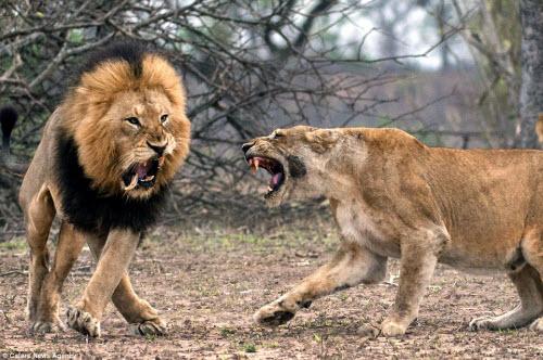 Xích mích với bạn tình, sư tử đực bị đánh gãy răng - 1