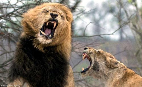 Xích mích với bạn tình, sư tử đực bị đánh gãy răng - 2