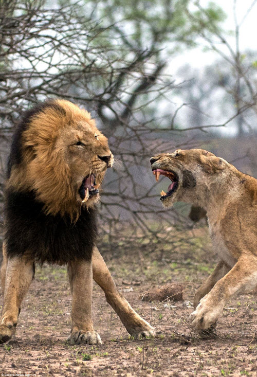 Xích mích với bạn tình, sư tử đực bị đánh gãy răng - 3