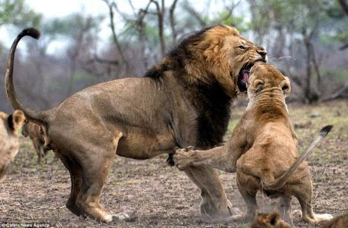 Xích mích với bạn tình, sư tử đực bị đánh gãy răng - 4