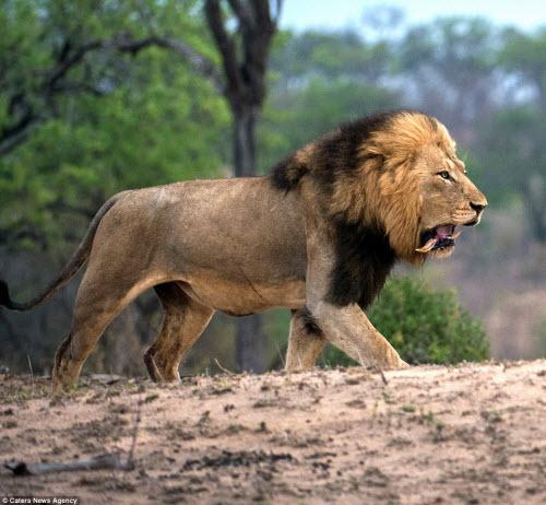 Xích mích với bạn tình, sư tử đực bị đánh gãy răng - 5