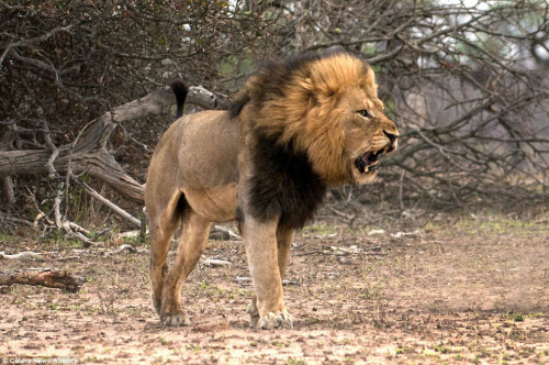 Xích mích với bạn tình, sư tử đực bị đánh gãy răng - 6