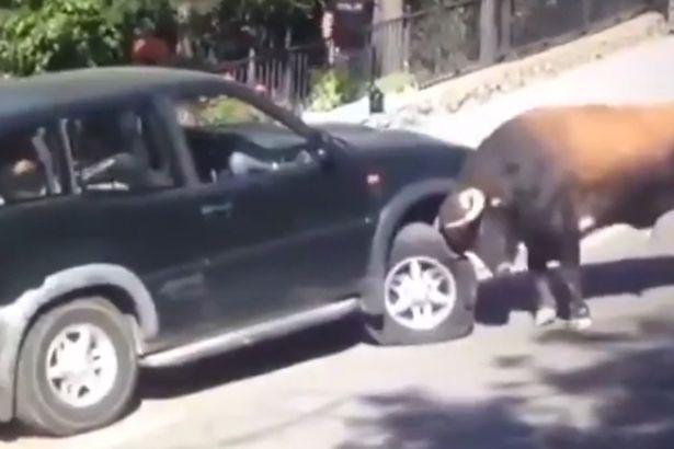 Bò rừng điên cuồng húc, nâng bổng xe hơi chở người - 1